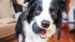smilling border collie holding toy ball in mouth playing with owner